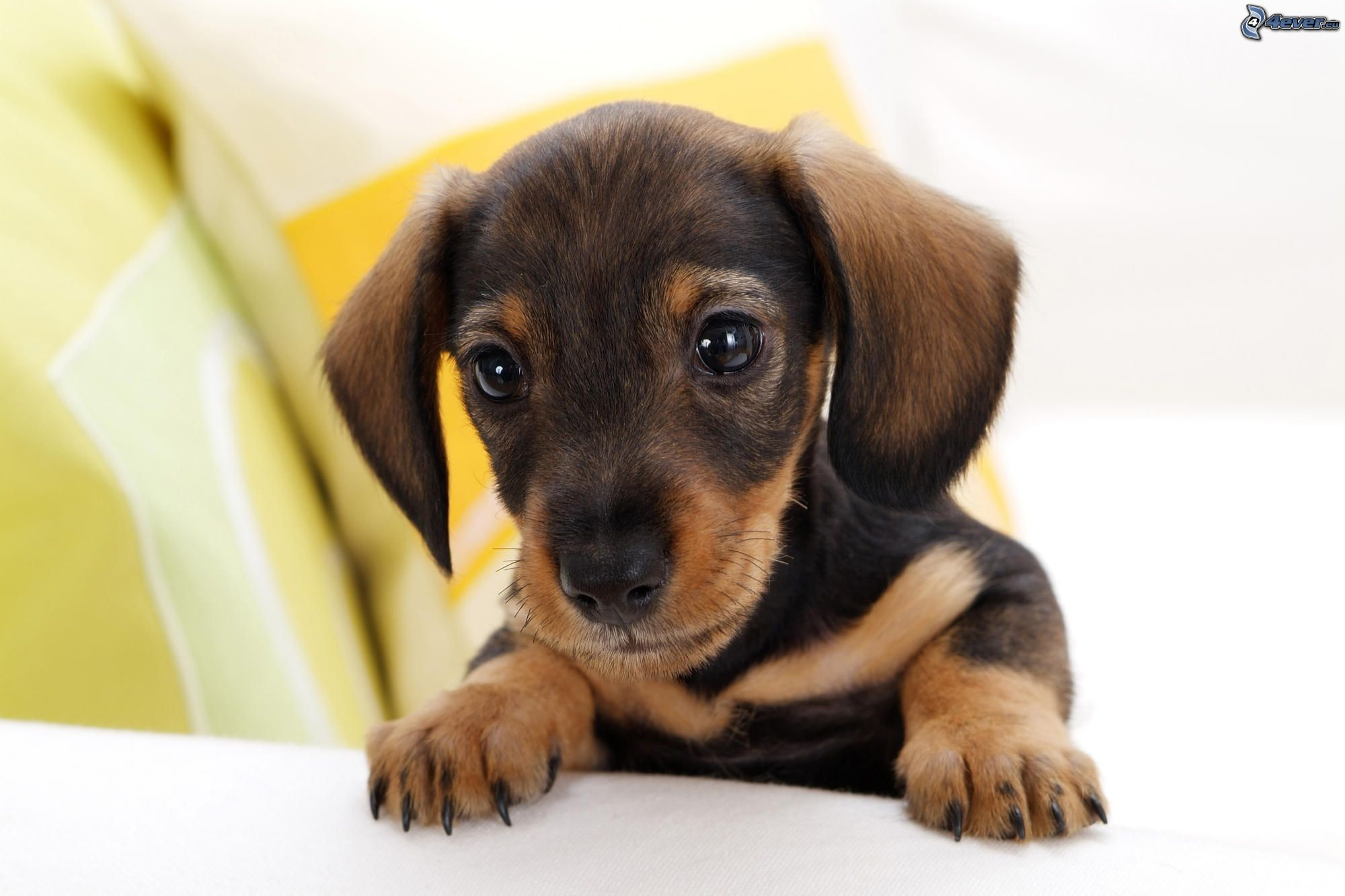 Bassotto cucciolo for Bassotto cane