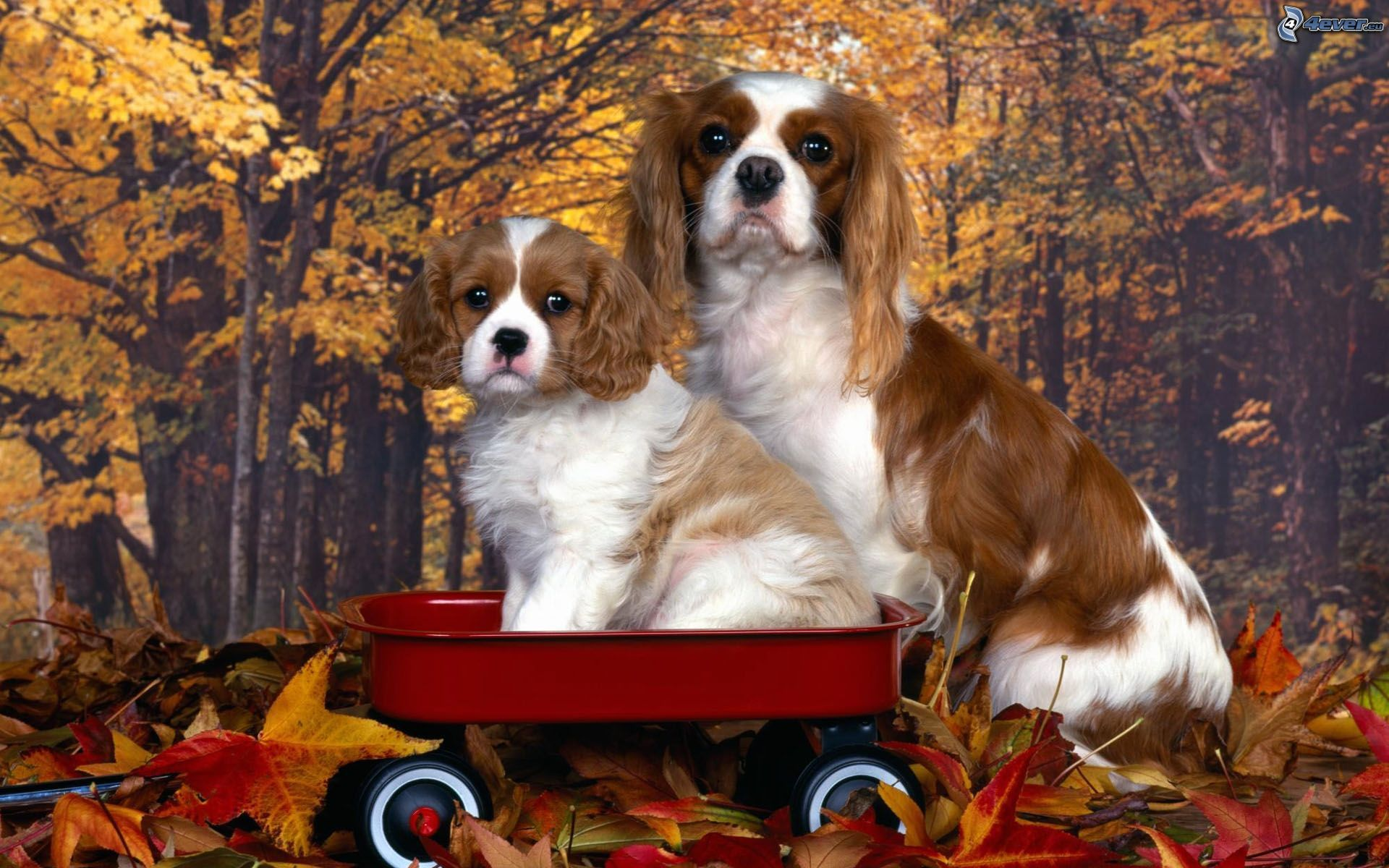 http://immagini.4ever.eu/data/download/animali/cani/cavalier-king-charles-spaniel,-carello,-foglie-di-autunno,-carta-da-parati-148863.jpg
