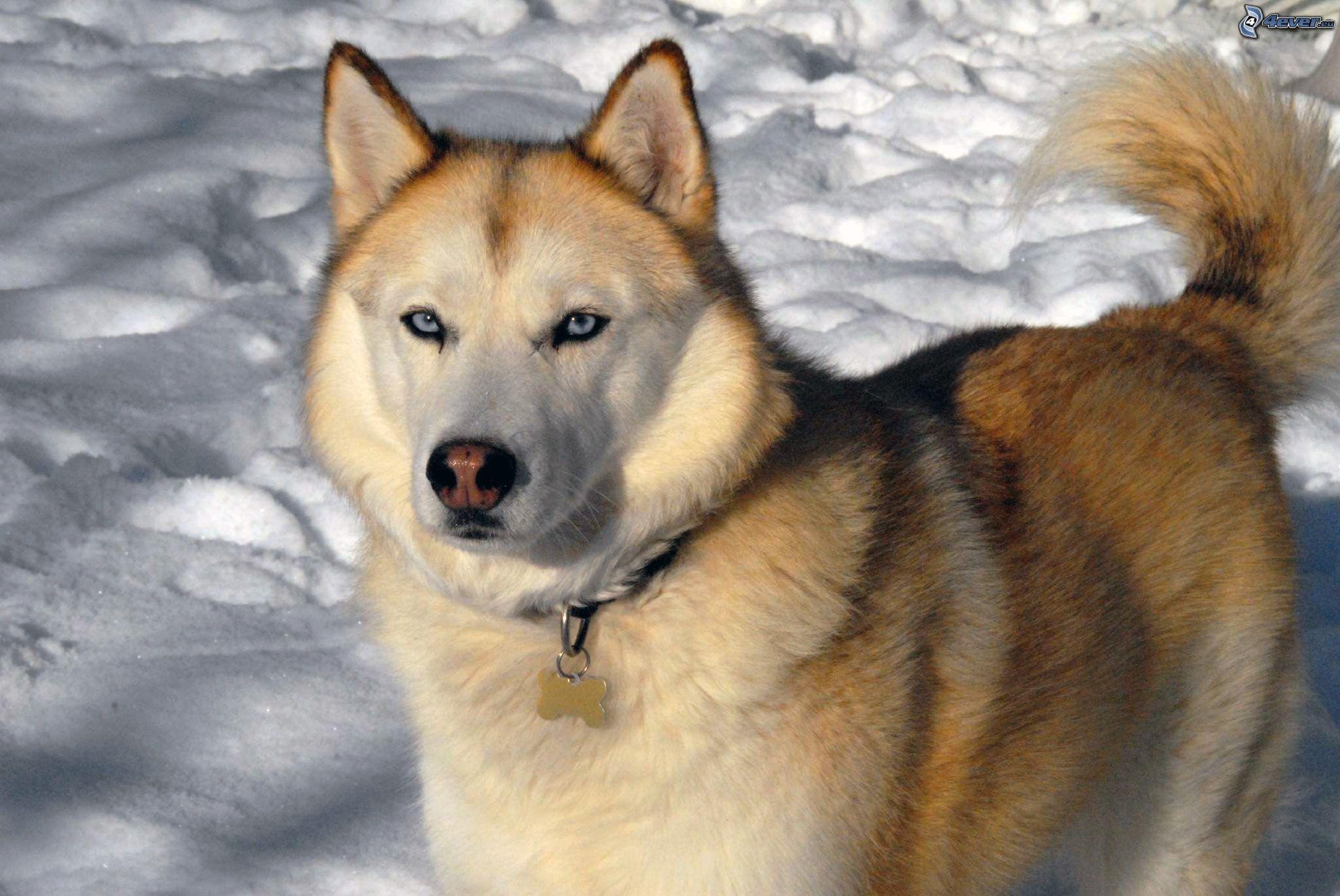Siberian husky - Husky occhi diversi ...