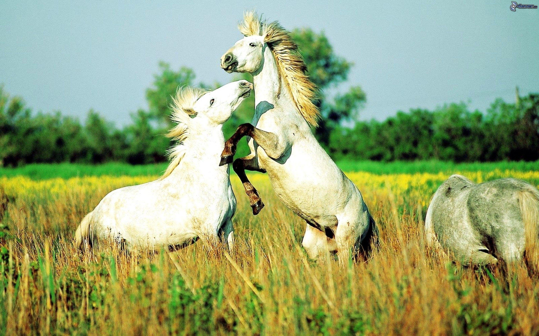 Famoso Cavalli bianchi DL67