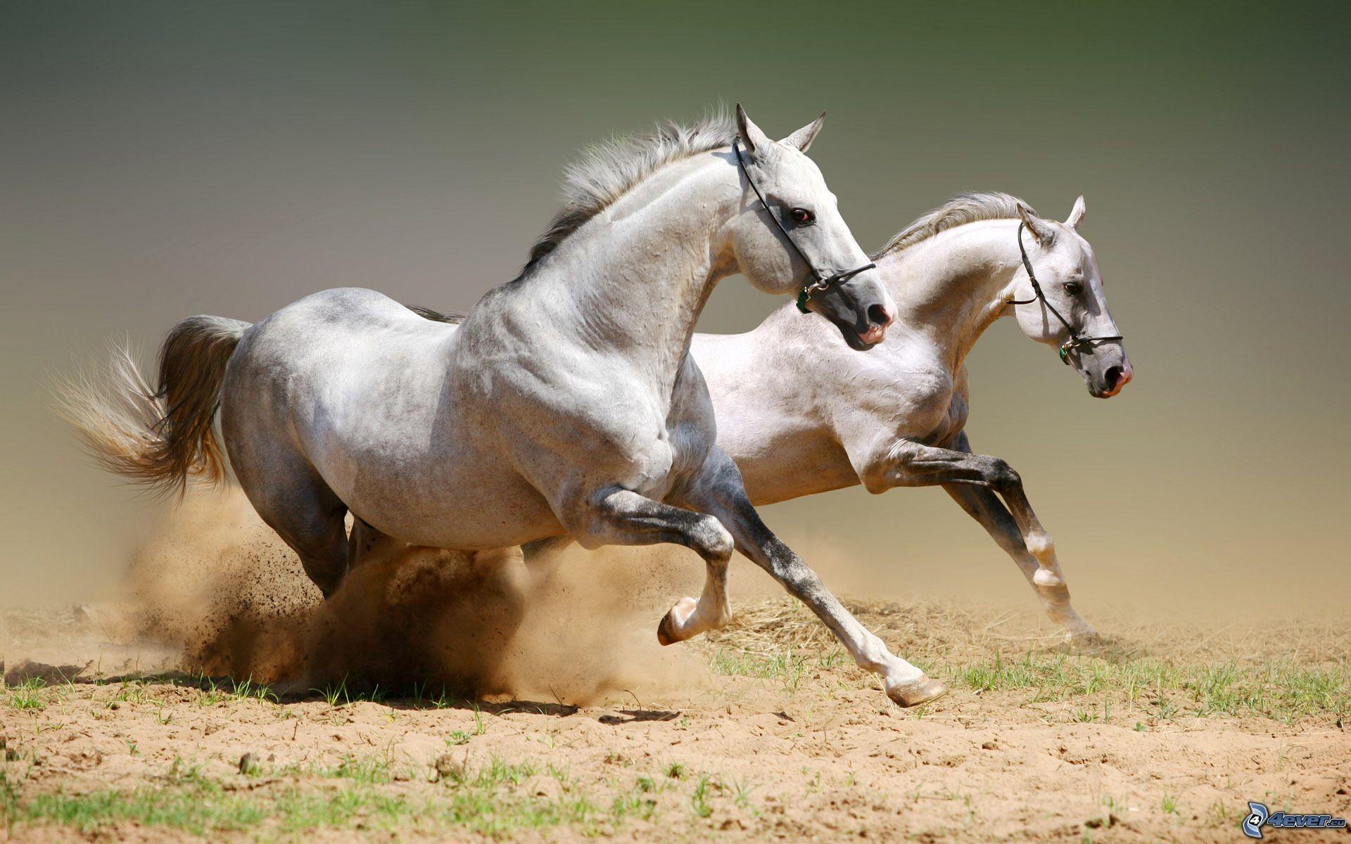 Molto Cavalli bianchi RC19