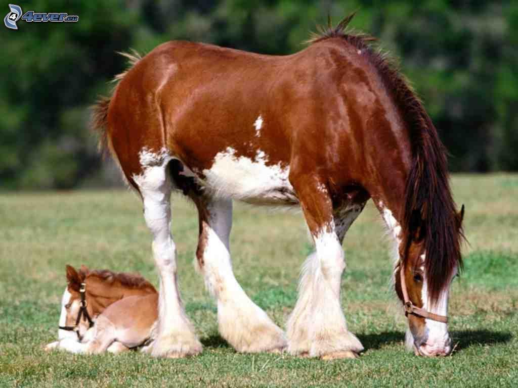 Cavallo agricolo italiano 97