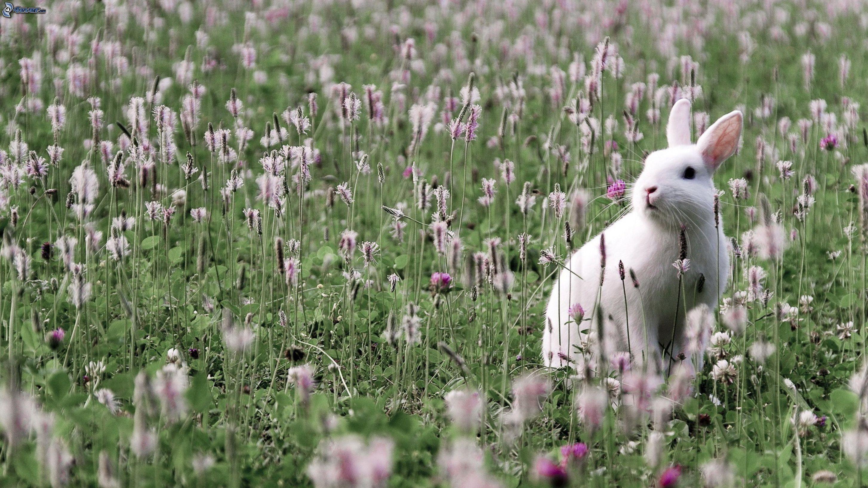 Risultati immagini per coniglio campo