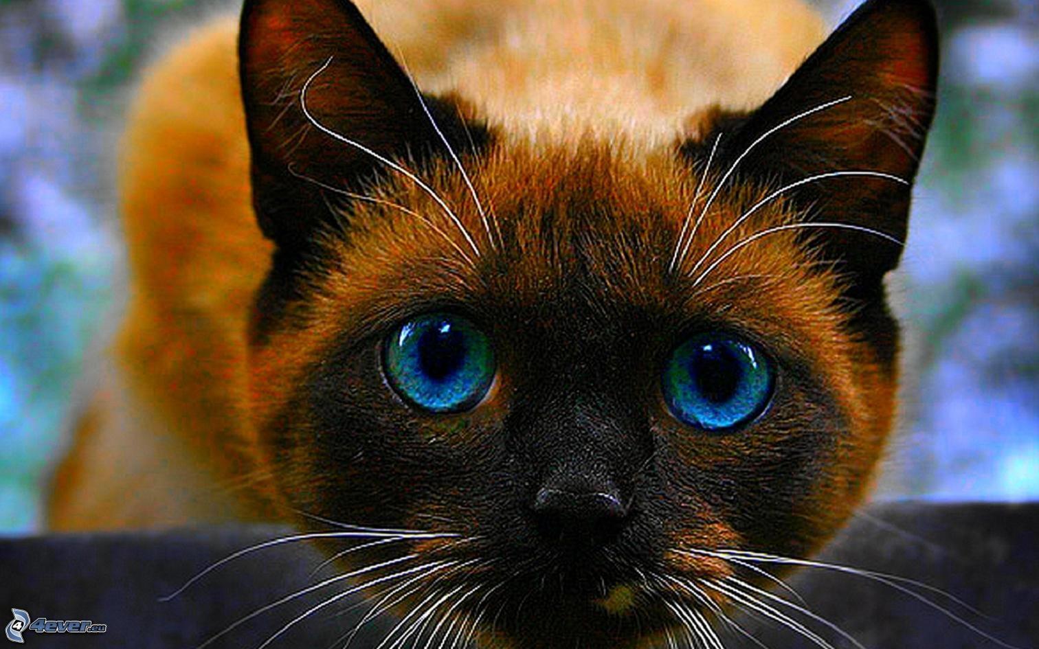 Gatto con gli occhi blu for Gatti con occhi diversi