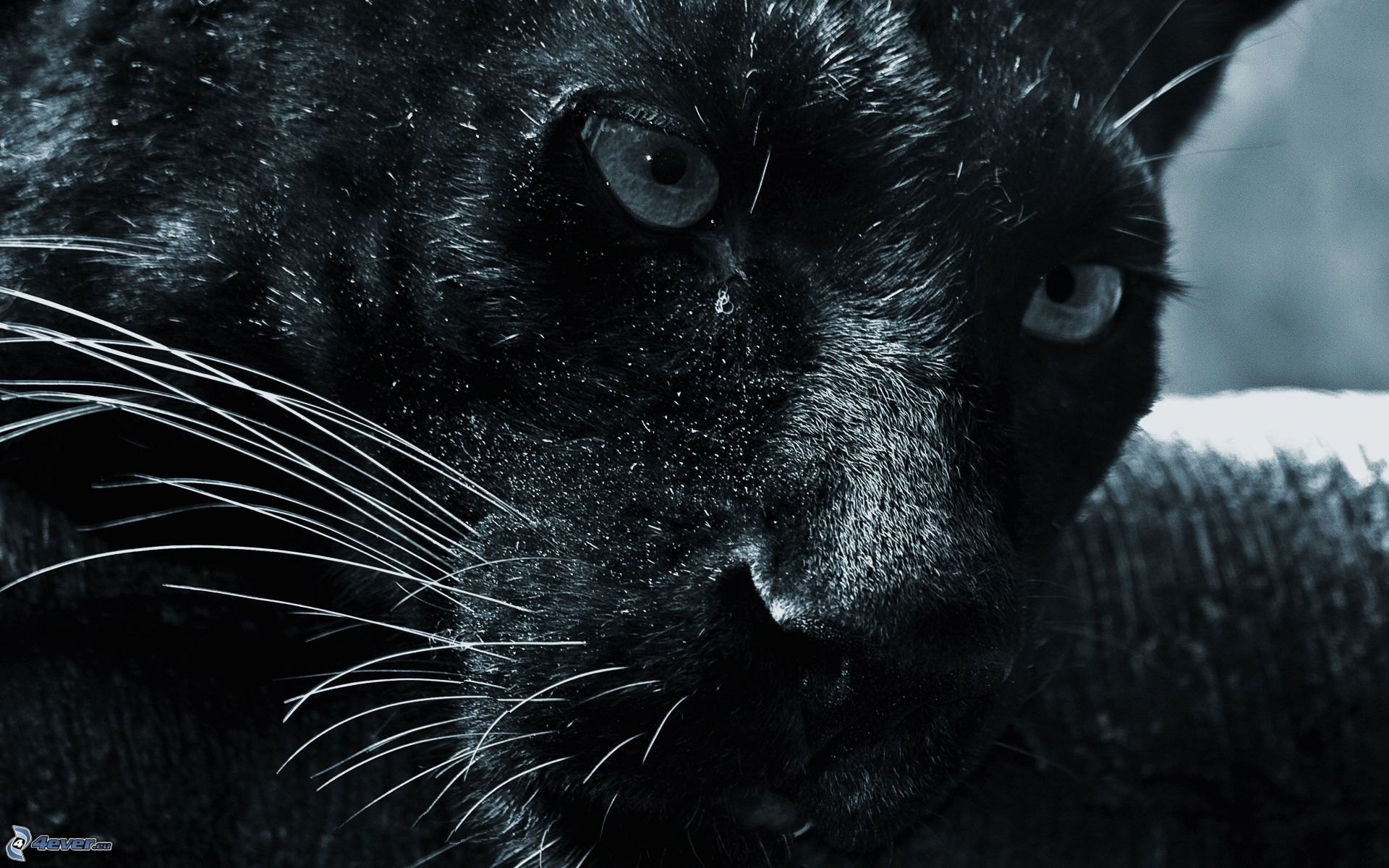 Pantera nera - Jaguar animal hd wallpapers ...