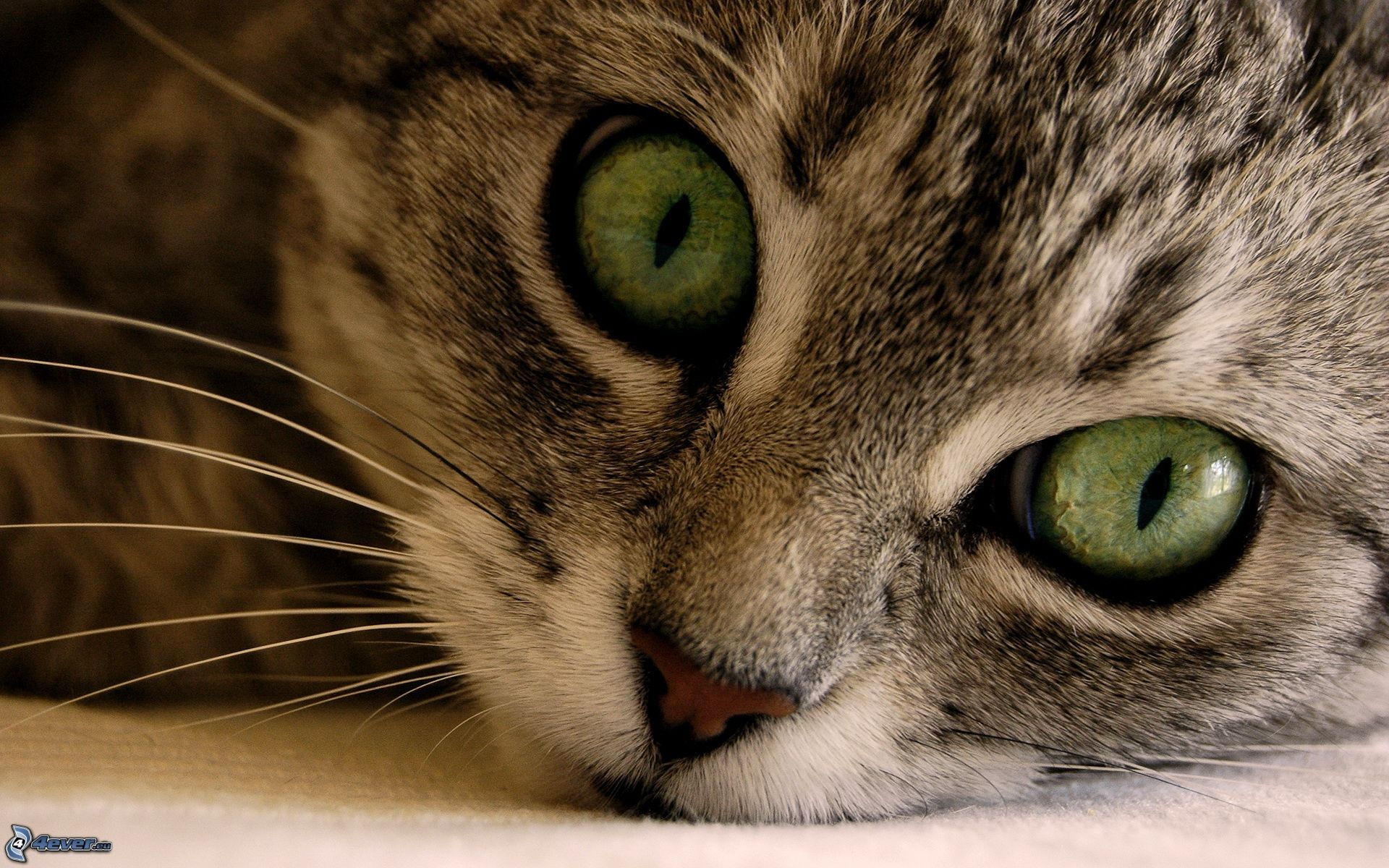 Piccolo gattino grigio for Gatti con occhi diversi