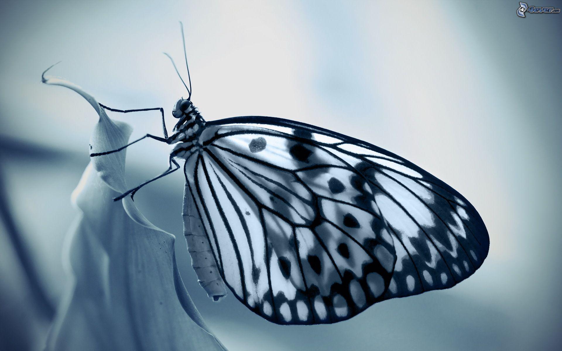 Farfalla for Foto hd bianco e nero