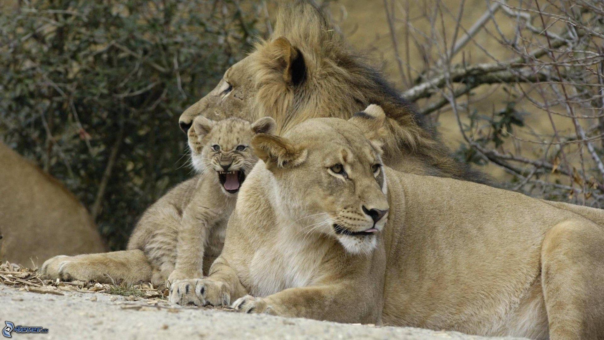 Famiglia dei leoni for Immagini leone hd