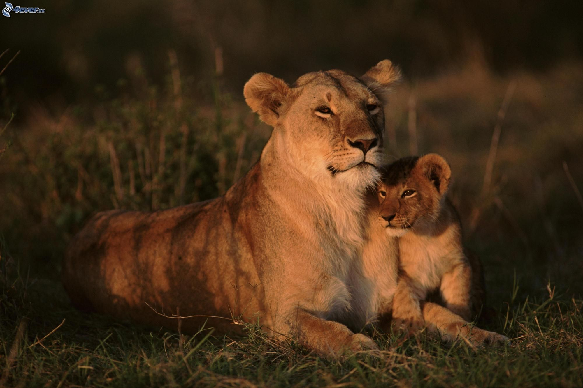 Leonessa con cucciolo for Immagini leone hd