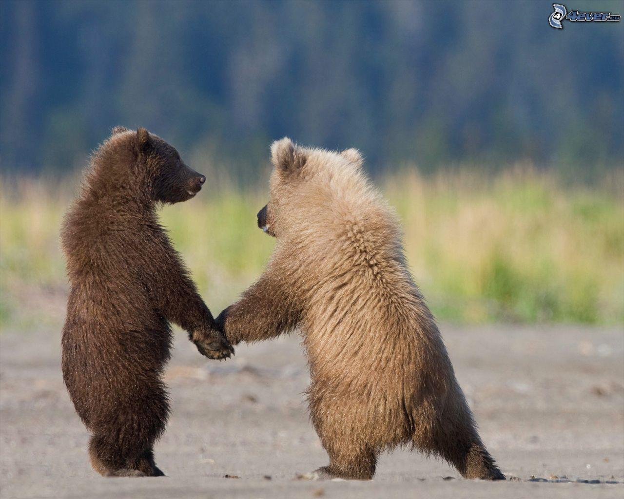 Orsi bruni for Le migliori cabine per grandi orsi