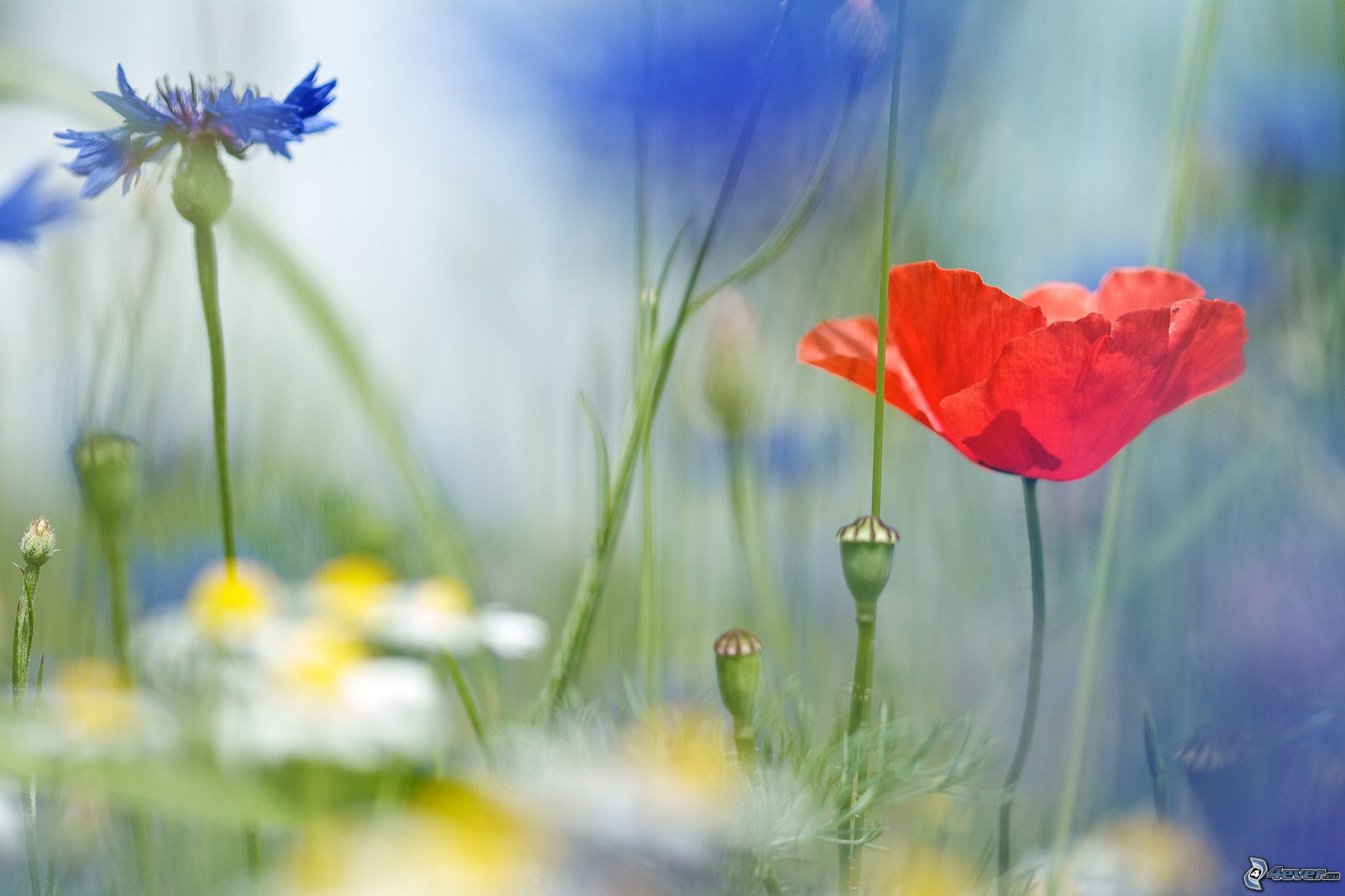 Fiori di campo - Immagini di fiori tedeschi ...