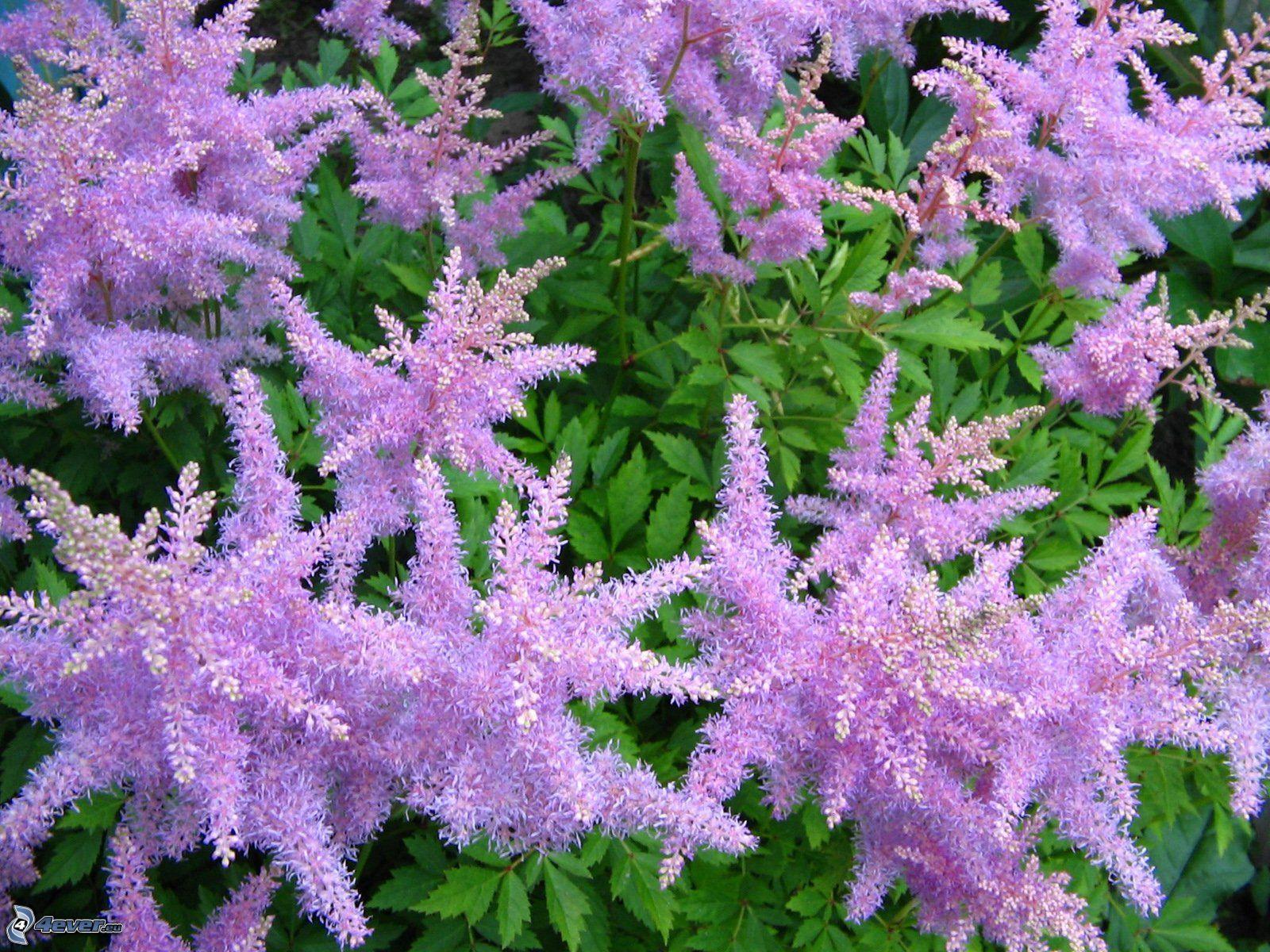 Fiori viola for Pianta fiori viola